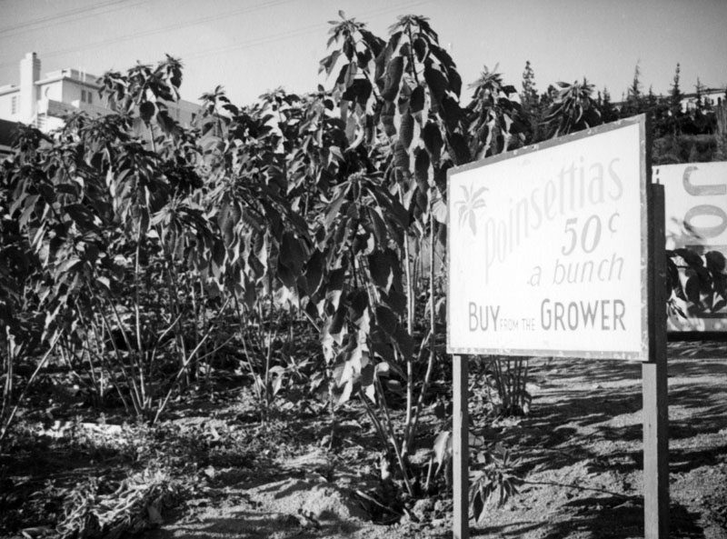 A sign in front of a poinsettia field near Sunset Hills Road and Doheny Road in West Hollywood advertises poinsettias for 50 cents a bunch. The top of the Doheny Courtyard Apartments can be seen in the upper left hand corner. 1937 (Photo courtesy of the Los Angeles Public Library )